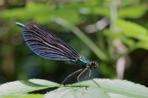 Blauflügel-Prachtlibelle (Calopteryx virgo), Männchen