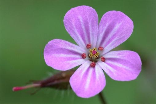 Blüte des Ruprechtskraut (Geranium robertianum)