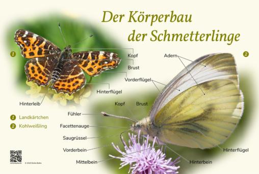 """Naturlerntafel """"Der Körperbau der Schmetterlinge"""""""