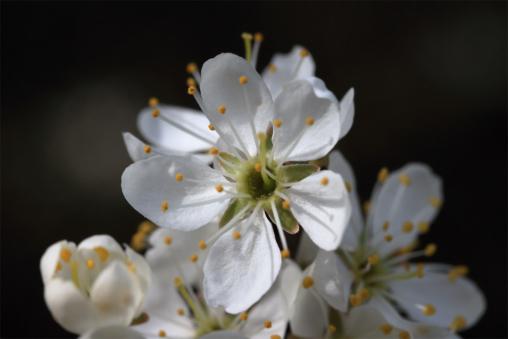 Blüte des Schwarzdorn (Schlehe) (Prunus spinosa)