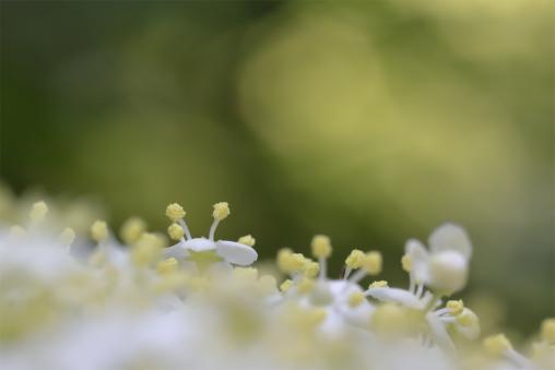Blüte des Schwarzen Holunders (Sambucus nigra)
