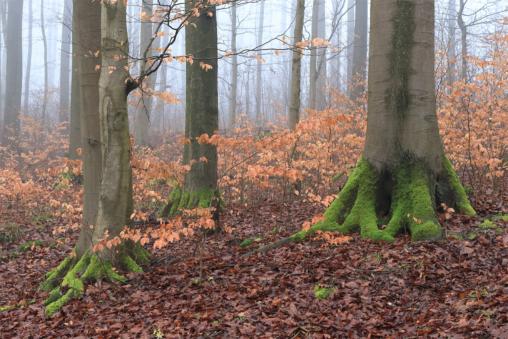 Im Rotbuchen-Wald nahe der Iburg bei Bad Driburg (Kreis Höxter, NRW)