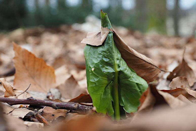 Ein austreibendes Blatt des Gefleckten Aronstabs (Arum maculatum) durchbohrt ein am Waldboden liegendes Buchenblatt des vergangenen Jahres