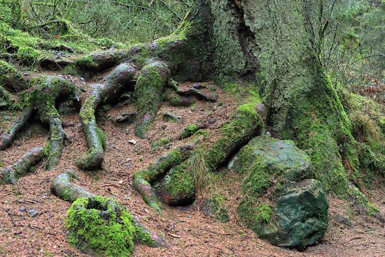 Mächtiger Baum im Silberbachtal