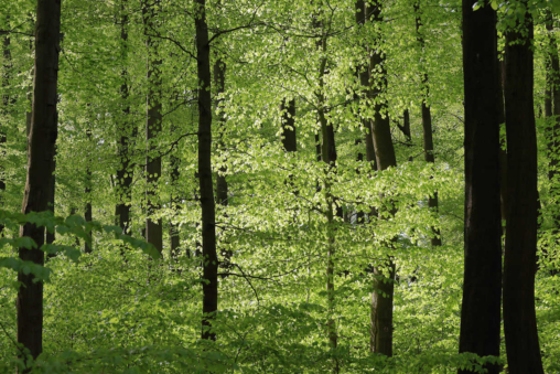 Frühling im Rotbuchenwald