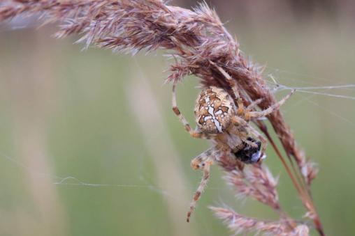 Gartenkreuzspinne Araneus diadematus