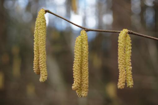 Männliche Blütenkätzchen der Gemeinen Hasel Corylus avellana