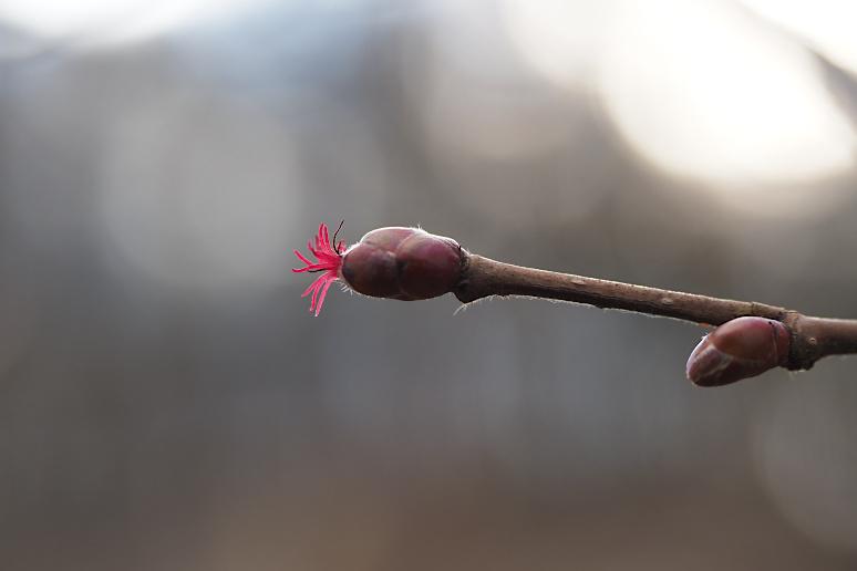 Gemeine Hasel (Corylus avellana), weibliche Blüte.