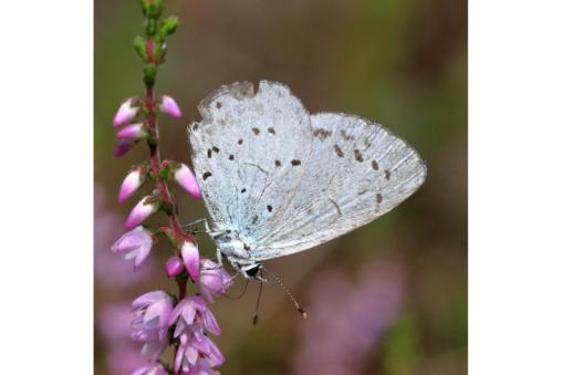 Faulbaum-Bläuling - Celastrina argiolus