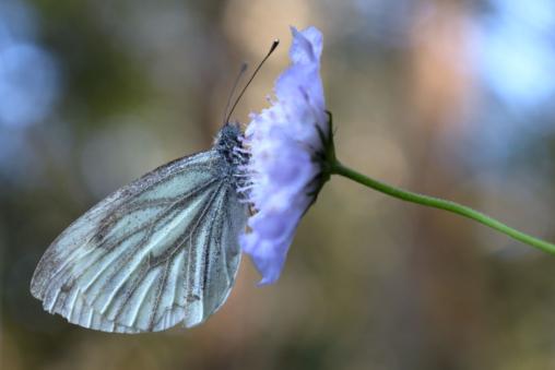 Grünader-Weißling Pieris napi